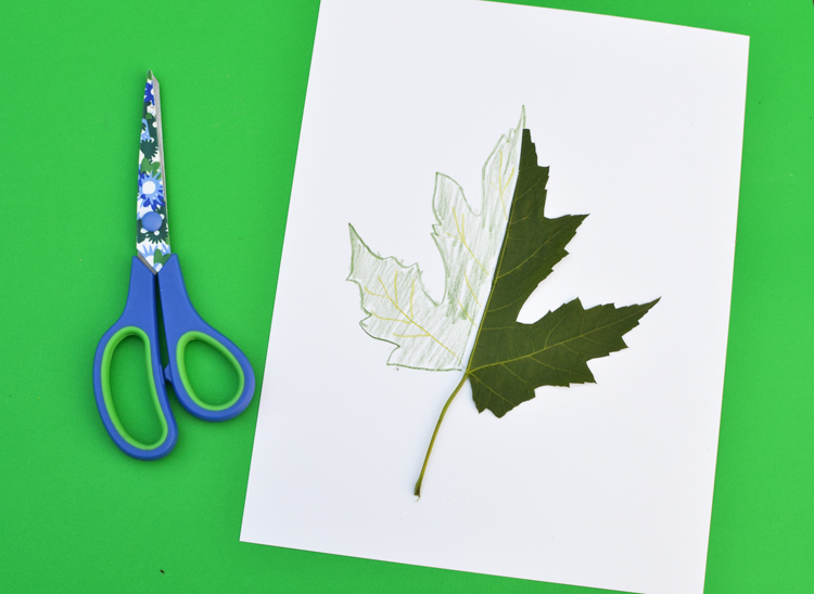 Leaf study for kindergarten
