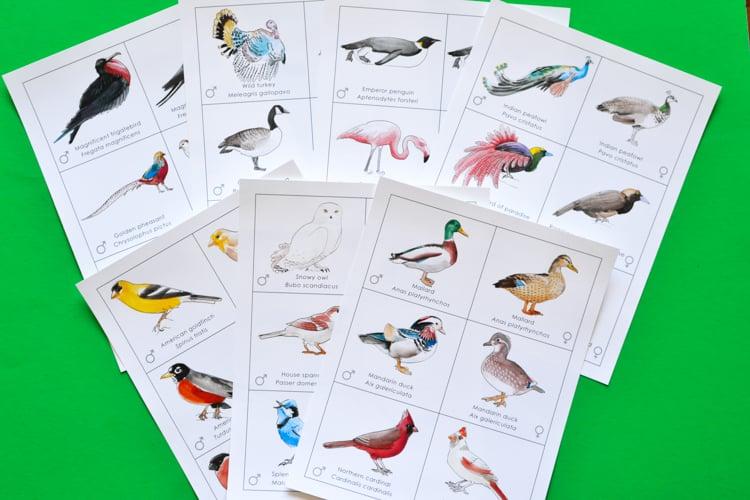 Bird Pairs: Printable Memory Match Game for Kids