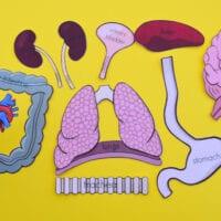 Life-Size Human Organs