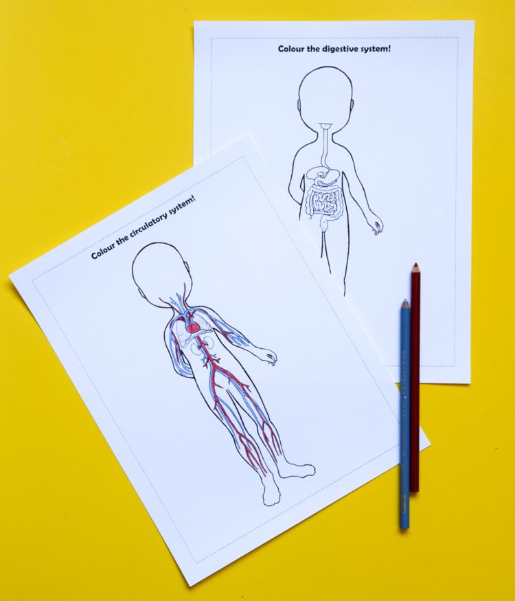 Anatomy For Kids Printable Bundle For Studying Human Body Systems