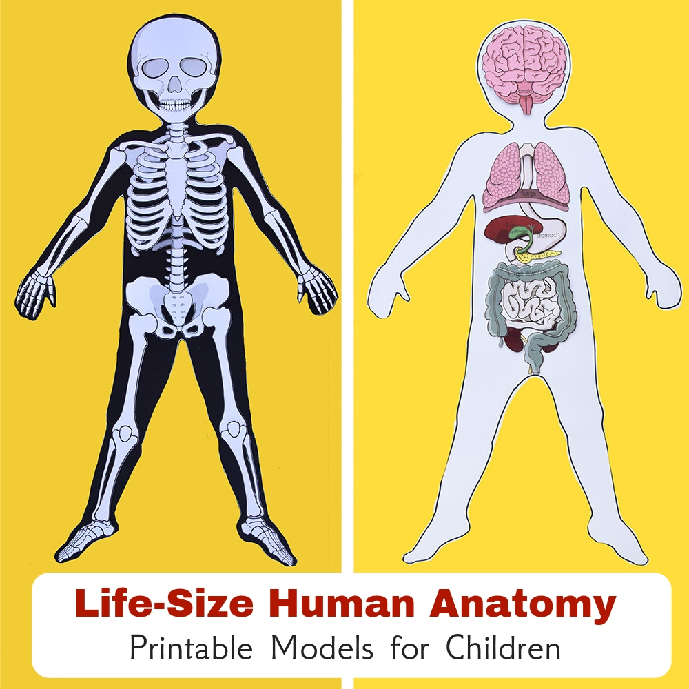 Life-Size Human Anatomy Paper Models with Printable Organs