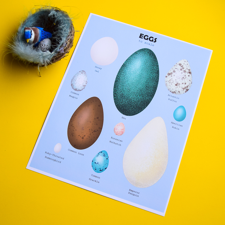 Bird Eggs to Scale Poster