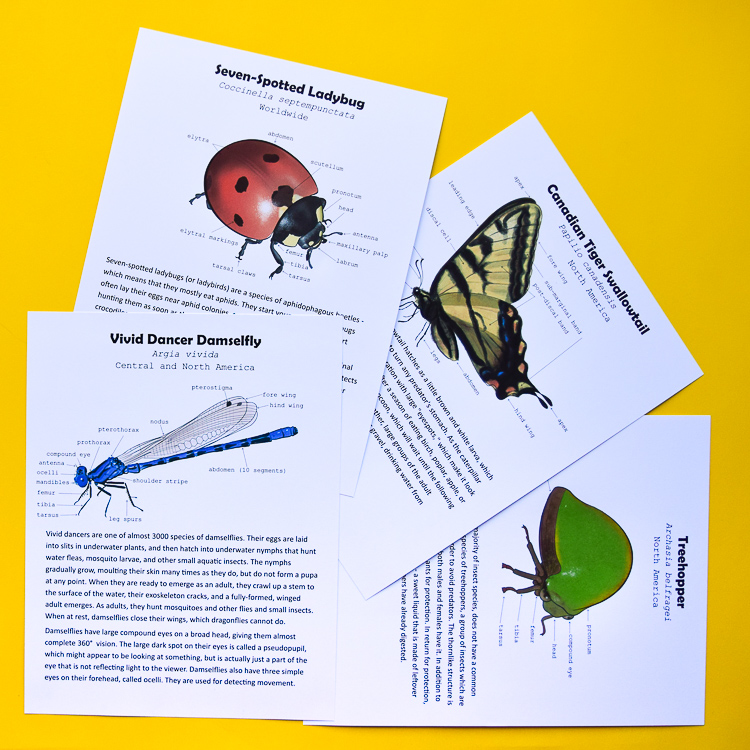Insect Anatomy for Kids