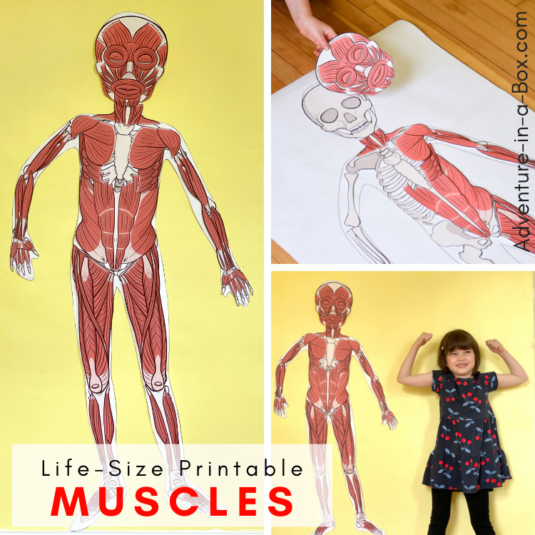 Life-Size Printable Musculatory System for Kids
