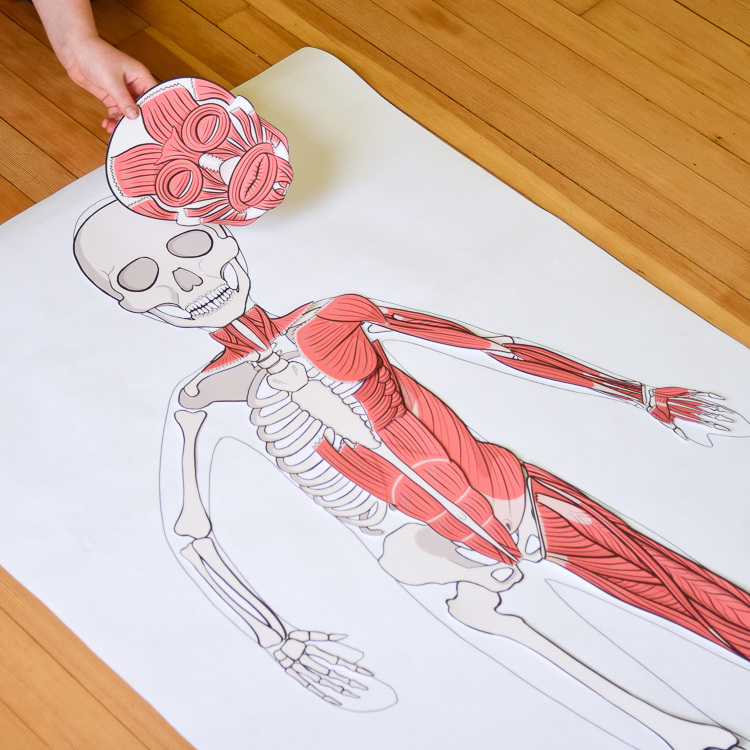 The muscular system integrates with the skeletal system