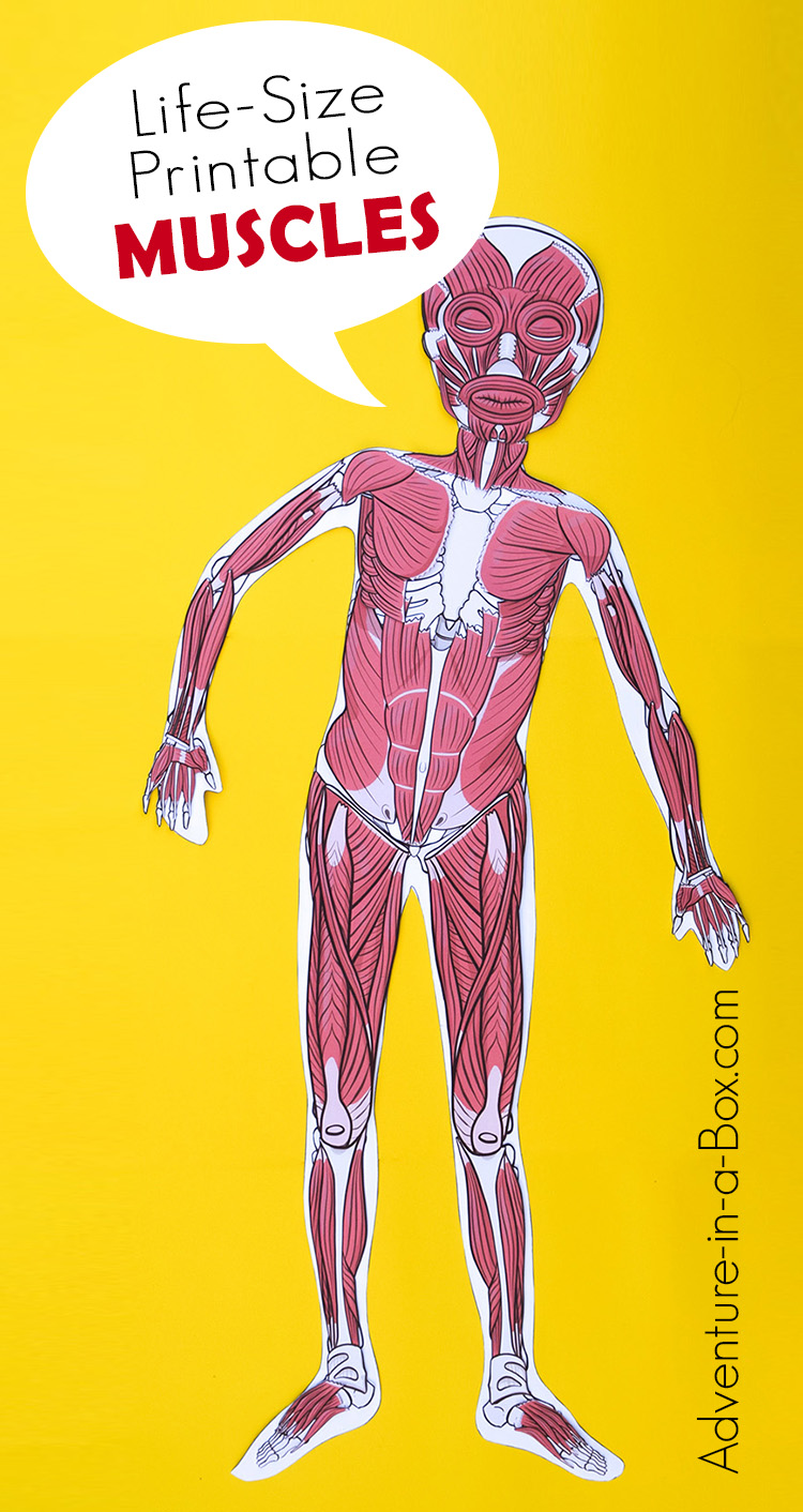 Life-Size Musculatory System Printable